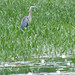 Great Blue Heron, near the causeway at Casco Village