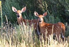 White-tailed Deer Fawns (fethers1) Tags: rockymountainarsenalnwr rmanwr rmanwrwildlife coloradowildlife deer whitetaileddeerfawn