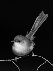 Superb Blue Wren (Rod Burgess) Tags: birds eurobodallabotanicgardens nsw superbbluewren canoneos5dmarkiv canon100400f4556lisii blackandwhite bw bird