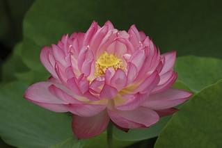 Lotus,To-ji,Kyoto