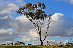 Gum Tree, and a Magpie (holly hop) Tags: bluesky clouds green greengrass gumtrees landscape onetree rural tree treetuesday australia centralvictoria emu abctvweather farm bush explored explore