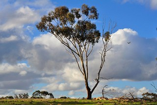 Gum Tree, and a Magpie