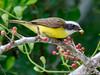 Social Flycatcher (Jim Scarff) Tags: flycatchers guatemalanbirds myiozeztetessimilis passerines socialflycatcher
