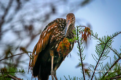 Limpkin Look Down (tclaud2002) Tags: limplin bird wadingbird wildlife animal tree perch nature mothernature sandhillcraneaccesspark palmbeachgardens florida usa outdoors greatoutdoors