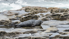 Harbor Seal (20170727-DSC03103) (Michael.Lee.Pics.NYC) Tags: sandiego lajolla pacificocean beach harborseal animal mammal rock wave sony a6500 fe70300mmg