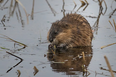 Muskrat (Turk Images) Tags: ondatrazibethicus alberta mammals muridae muskrat rodentia rural spring wetland