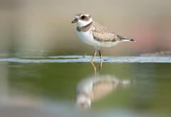 Semipalmated Plover (rmikulec) Tags: plover animal wild wildlife nature shore bird waterfowl water lake ontario toronto