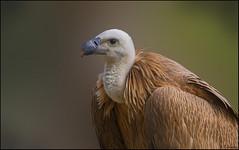 Buitre común (antoniocamero21) Tags: carroñero ave común buitre voltor fulvus gyps plumas retrato perfil