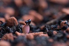 """Baby astrophytum: """"super kabuto"""" (FlyWithMeh) Tags: cacti succulent germination breeding seeds cactus astrophytum super kabuto superkabuto"""