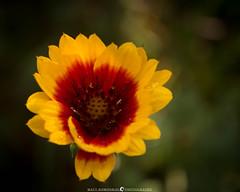 Jemez Late Bloomer (MTD Photos) Tags: commonblanketflower newmexico alpine bloom blossom flower macro mattdomonkos nature petals red wildflower yellow