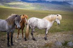 Icelandic (Viking) horses (wandering tattler) Tags: horse pony iceland viking animal mammal ungulale 2017 cute