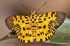 Odina decoratus (Zigzag Flat) (GeeC) Tags: animalia arthropoda butterfliesmoths cambodia hesperiidae hesperioidea insecta kohkongprovince lepidoptera nature odina odinadecoratus pyrginae skipperbutterflies tatai zigzagflat gallery