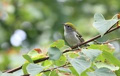 - paruline à flancs marrons juvénile / Chestnut-sided Warbler juvenile by ricketdi - val-des-monts, québec