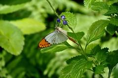 ツマベニチョウ (yuki_alm_misa) Tags: ツマベニチョウ 蝶 チヨウ 多摩動物公園 butterfly 蝶々 zoo 動物園 tamazoologicalpark