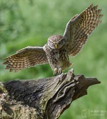 Shaky Landing (mikedenton19) Tags: little owl littleowl athene noctua athenenoctua lesgibbonhide eastyorkshire wildlife bird birdofprey bop nature strigiformes flight