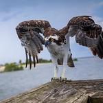 Ft Island Beach Pier Osprey II thumbnail