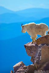 Living On The Edge (rosacruzjl) Tags: america colorado echolake mountevans mountaingoat unitedstates animal backcountry backwoods beautiful blue bview cliff cloud colorful concept conceptual conservation country countryside dawn destination dusk environment forest green habitat mammal peak pine pretty rural scenery scenic siummer sky state sunrise sunset tree view water waterscape weather wilderness wildlife