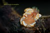 Orange (kayak_no1) Tags: nikon d800e nauticamhousing 105mmvr diopter ysd1 subsee10 underwater underwaterphotography macro supermacro diving scubadiving uw lembehstrait indonesia nudi nudibranch