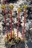Dudleya sp., possibly Dudleya caespitosa, SEA LETTUCE. (openspacer) Tags: crassulaceae dudleya montereycounty salinasrivernationalwildliferefuge sealettuce