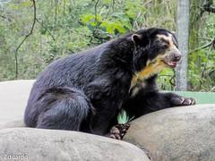 Urso de oculos (eduardorodrigues10) Tags: urso de oculos zoo rio janeiro brasil