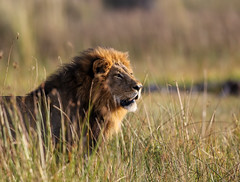 Lion in the Grass, Paradise Pools, Botswana (donnatopham) Tags: campxanakaxa botswana