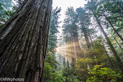 Morning at Redwoods National Park (n4rwhals) Tags: redwood national park nps redwoods coastal fog mist forest rainforest california usa sunrise sun sunrays sunray redwoodsnationalpark lady bird johnson grove trail