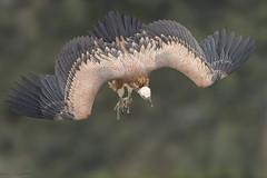Vautour Fauve - Espagne 2017-08-11 (marczoccarato) Tags: griffonvulture nikond5 wildlife vautourfauve oiseau bokeh nikkor500f4e espagne birdofprey france rapace gypsfulvus nature d850