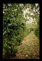 Agricultural Research In Vanuatu = バヌアツの農業研究