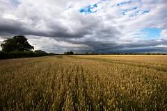 A Bit Corny (abnormally average) Tags: wheat field crop scape lincolnshire sky abnormallyaverage golden