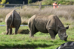 Black Rhinos (Bri_J) Tags: yorkshirewildlifepark doncaster southyorkshire uk ywp yorkshire zoo nikon d7200 sigma150600mm animal blackrhinoceros blackrhino rhino dicerosbicornis