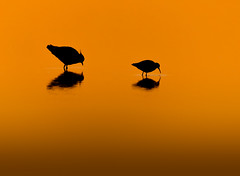 Lapwing and Dunlin at Sunrise (Peter Quinn1) Tags: sunrise dawn golden titchwell titchwellnaturereserve rspb rspbtitchwell silhouette dunlin lapwing outline pond norfolk northnorfolk waders freshwater