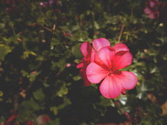 Be always blooming. (Blesson Miracle Mathew) Tags: be always blooming colour photography uncategorized bakrid bangalore blesson miracle mathew bloom celebrate chennai delhi eidaladha festival flower happiness india joy love mumbai peace photograph quote