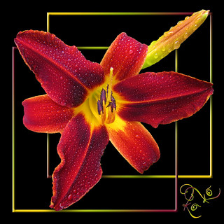Day lily Red on black