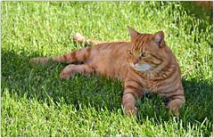Zarpazos (En memoria de Zarpazos, mi valiente y mimoso tigre) Tags: zarpazos gattuso gato pelirrojo dep cat gattoarancione ginger orangetabby gatofeliz gatolibre gatto rosso gatoatigradonaranja rip gatopelirrojo gattorosso