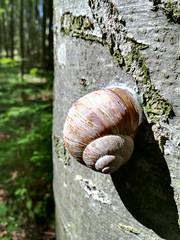 IMG_1017 Weinbergschnecke, 13.8.2017 (MQ73) Tags: wandern wald forest wood wienerwald viennawoods hiking österreich austria niederösterreich loweraustria