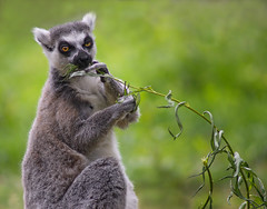 Just a little snack (Explored 3-9-2017) (Kerry711) Tags: sony a77 alpha 70210mm minolta beercan f4 lens lemur eating snack leaves animal wild yorkshire wildlife park doncaster southyorkshire england