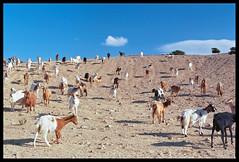 multicolored goats (ukke2011) Tags: nikonf100 nikkorafs5014g kodakektar100 film pellicola 135 analog analogico capre goats