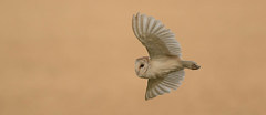 Barn owl fly by (jim w-y) Tags: bif wings kent flight barn owl