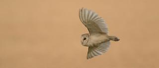 Barn owl fly by