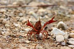 Atrévete (alvaro.foto) Tags: cangrejo rio tajo guadalajara españa