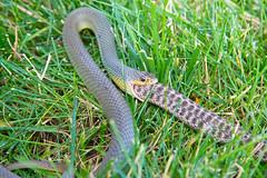 Snake eating snake (mhawkins) Tags: snake snakes