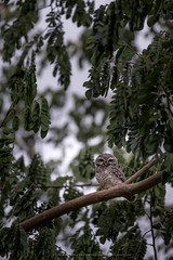 Spotted owlet (EakSRiT) Tags: spotted owlet bird athenebrama thailand park