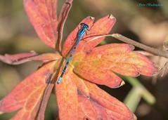 Boreal Bluet (sbuckinghamnj) Tags: wyoming grandteton grandtetonnationalpark nationalpark bluet borealbluet dragonfly damselfly odonata insect