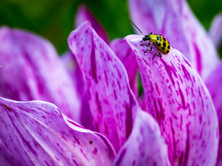 Spotted Cucumber Beetle & Dahlia