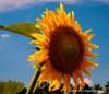 Headliner (T i s d a l e) Tags: tisdale headliner sunflower farm field summer july 2017 easternnc