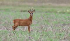 Chevreuil (guiguid45) Tags: nature sauvage animaux mammifères forêt loiret forêtdorléans d810 nikon 500mmf4 cervidés chevreuil brocard capreoluscapreolus roedeer affût