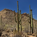 Clear Skies Above for a Mountainous Backdrop of Saguaro Cactus (Saguaro National Park) thumbnail