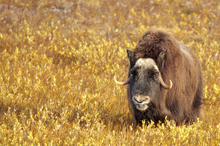 Tongue of a Musk Ox