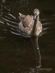 Roath Park Birds 2107 09 18 #4 (Gareth Lovering Photography 5,000,061) Tags: roath park cardiff wales birds swans ducks heron grebe lake water olympus omdem10ii garethloveringphotography