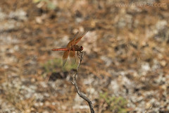 """Dragonfly • <a style=""""font-size:0.8em;"""" href=""""http://www.flickr.com/photos/63501323@N07/36956403290/"""" target=""""_blank"""">View on Flickr</a>"""